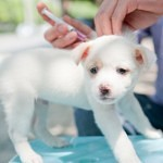 Vaccinating your Cat, Dog or Rabbit